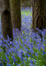 Tom Lambert - Bluebell Wood l
