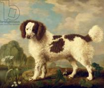 George Townley Stubbs - Brown and White Norfolk or Water Spaniel, 1778