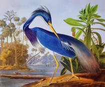 John James Audubon - Louisiana Heron, from 'Birds of America', engraved by Robert Havell (1793-1878) 1834