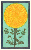 Mughal School - A Marigold, from the Small Clive Album