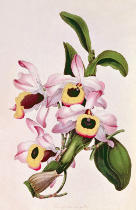 Anonymous - Orchid: Dendrobium nobile , from Sir Joseph Paxton's Magazine of Botany, No.7, c.1850