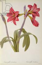 Pierre Joseph Redouté - Amaryllis Brasiliensis, from `Les Liliacees' by Pierre Redoute, 8 volumes,  published 1805-16,