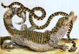 Unbekannt - Alligator and Snake by Maria Sybille Merian, 1730