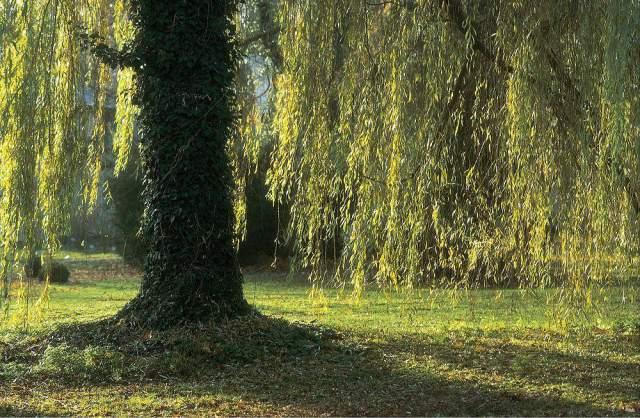 Manfred Mothes Herbst Park Garten Baum Weide Trauerweide Art Print