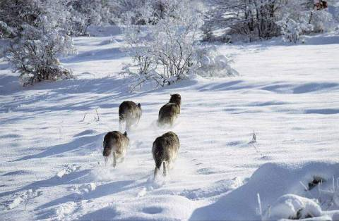 kopp wolfsrudel abruzzo nationalpark w lfe abruzzen wolf kunstdruck. Black Bedroom Furniture Sets. Home Design Ideas