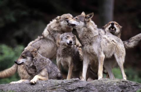 kopp f1 online wolfsrudel wolf canis lupus w lfe merzig. Black Bedroom Furniture Sets. Home Design Ideas