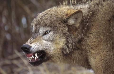 Zähne Fletschen Wolf