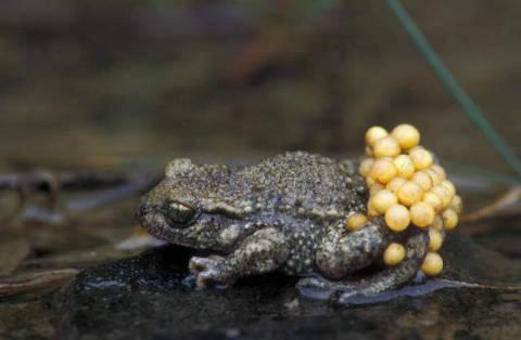 Wildlife: Männliche tragende Eier, Amphibie, Amphibien