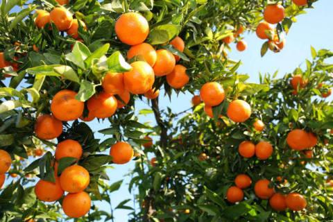 prisma f1 online mandarinen orangenbaum valencia. Black Bedroom Furniture Sets. Home Design Ideas
