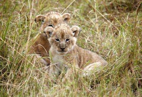 frank stober f1 online zwei l wenjungen panthera leo im gras liegend masai mara national. Black Bedroom Furniture Sets. Home Design Ideas