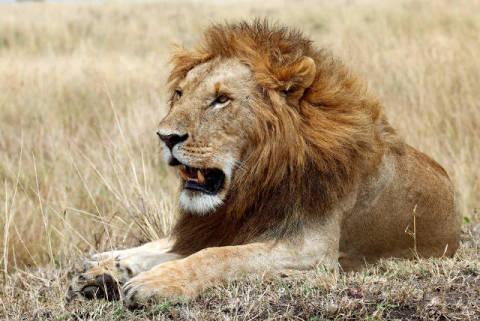 frank stober f1 online l we panthera leo im gras liegend masai mara national reserve. Black Bedroom Furniture Sets. Home Design Ideas