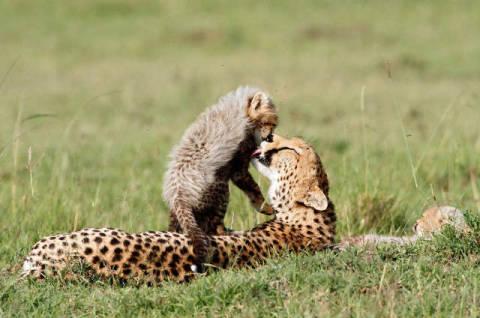 frank stober f1 online gepard acinonyx jubatus mit jungen im gras liegend masai mara. Black Bedroom Furniture Sets. Home Design Ideas