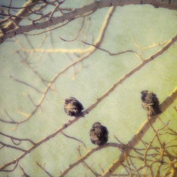 A textured composite pictorialist photograph of starlings sitting in a leafless poplar tree in Alberta, Canada von Künstler First Light (F1 Online) als gerahmtes Bild