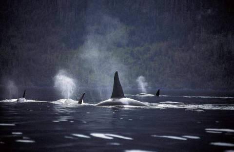 kopp k ste vancouver island nationalpark orcinus orca kunstdruck. Black Bedroom Furniture Sets. Home Design Ideas