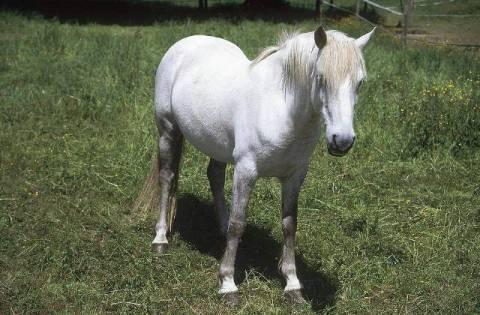hans georg eiben f1 online weiss schimmel pferd araber auf weide haustier foto kunstdruck. Black Bedroom Furniture Sets. Home Design Ideas