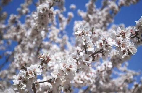 Udo Frank (F1 Online) - Mandelblüten, Blüte, Mandeln Frühling Baum ...