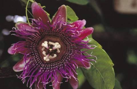 kopp maracuja passiflora incarnata passionsblume lila bl te kunstdruck. Black Bedroom Furniture Sets. Home Design Ideas