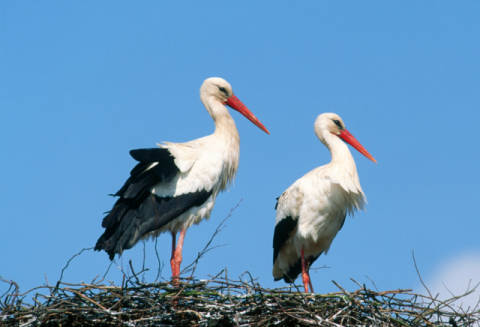 bernd jan en f1 online ciconia ciconia storch nest zwei paar storchenpaar storchennest vogel. Black Bedroom Furniture Sets. Home Design Ideas