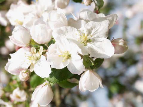 Wolpert (F1 Online) - Baum Obstbaum Frühling rosa weiße Blüte Apfel ...