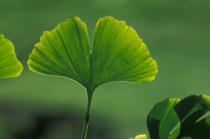 Wildlife (F1 Online) - Der maidenhair-Baum, Gingko, Green, Wildpflanzen