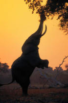 First Light (F1 Online) - Mana Pools Np, Afrikanischer Elefant, Simbabwe