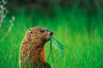 All Canada Photos (F1 Online) - Prinz Edward Point National Wildlife Area, Groundhogs, Groundhog, Woodchuck
