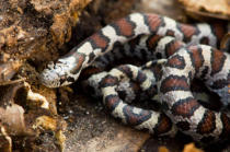 All Canada Photos (F1 Online) - Lampropeltis-Triangulum, Nord-Ontario, Rutschen