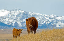 All Canada Photos (F1 Online) - Bos taurus, Rotes angus, Waterton-Glacier Internationaler Friedens-Park, Waterton Lakes-Nationalpark
