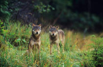 All Canada Photos (F1 Online) - Holzwolf, Canis lupus, Canis-Lupus