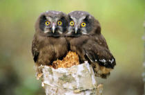 All Canada Photos (F1 Online) - Owlets, Borale Eulen