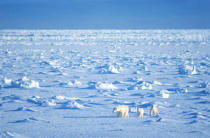 All Canada Photos (F1 Online) - Arctic Ocean, Eis-Bären, Hudson Bay