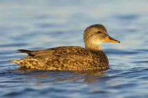 All Canada Photos (F1 Online) - Anas-Strepera, Etobicoke, Waterfowls