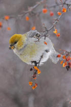 All Canada Photos (F1 Online) - Crabapple, Pinicola-Enulceator, Grosbeaks, Grosbeak