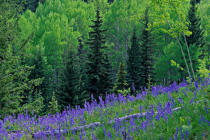 All Canada Photos (F1 Online) - Oregon-Jack Provincial-Park, Purpurne Blume, Hang