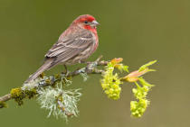All Canada Photos (F1 Online) - Carpodacus-Mexicanus, Knospen, Knospe