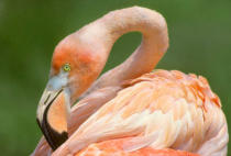 All Canada Photos (F1 Online) - Fllamingo, Flamingos, Lang legged