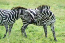 First Light (F1 Online) - Zebras, Serengeti Plain, Zebra, Grüße, Schnüffle