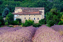 JB-Fotografie (F1 Online) - Blooming lavender field and stone house, Vaucluse, France