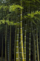 First Light (F1 Online) - Bamboo forest, Arashiyama, Kyoto, Japan