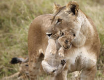 Frank Stober (F1 Online) - Lioness (Panthera leo) carrying cub in mouth, Masai Mara National Reserve, Kenya
