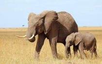Frank Stober (F1 Online) - African elephant (Loxodonta africana) with calf, Masai Mara National Reserve, Kenya