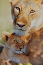 Frank Stober (F1 Online) - Female lion and young dear, panthera leo, Masai Mara National Reserve, Kenya, Africa