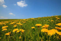 Beate Münter (F1 Online) - Meadow with blooming dandelion, Allgaeu, Germany