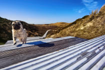 Beate Zoellner (F1 Online) - Pug running on boardwalk, Sylt, Germany