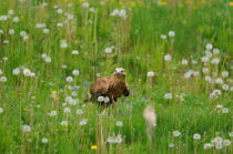 David & Micha Sheldon (F1 Online) - Long-legged Buzzard (Buteo rufinus) in meadow