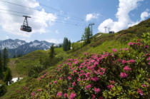 parasola (F1 Online) - Rhododendron at Fellhorn, Allgaeu Alps, Bavaria, Germany, Europe