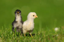 David & Micha Sheldon (F1 Online) - Two chicks, barn fowl, Gallus gallus domesticus