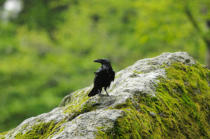 David & Micha Sheldon (F1 Online) - Common raven, Corvus corax, Germany, Europe