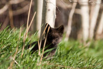First Light (F1 Online) - Black fox kit in tall grass