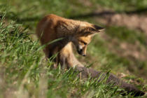 First Light (F1 Online) - Red fox kit
